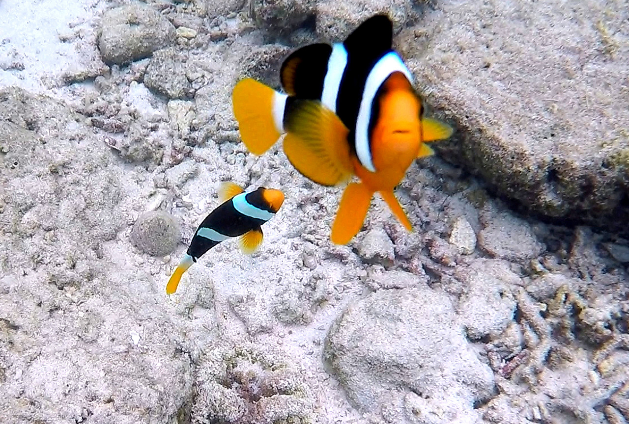 Black & White clown fish
