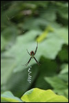 Mean looking spider!