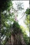 Huge anciant tree