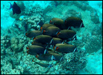 Shoal of Collare Butterflyfish