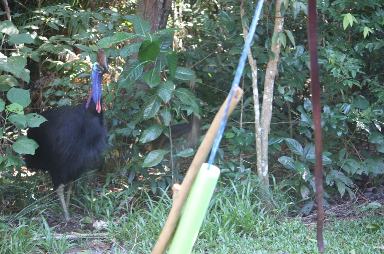 Visit of Cassowary to our camp