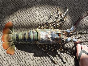 #1 Lobster