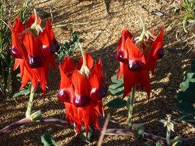 Black centred Sturt Desert Pea
