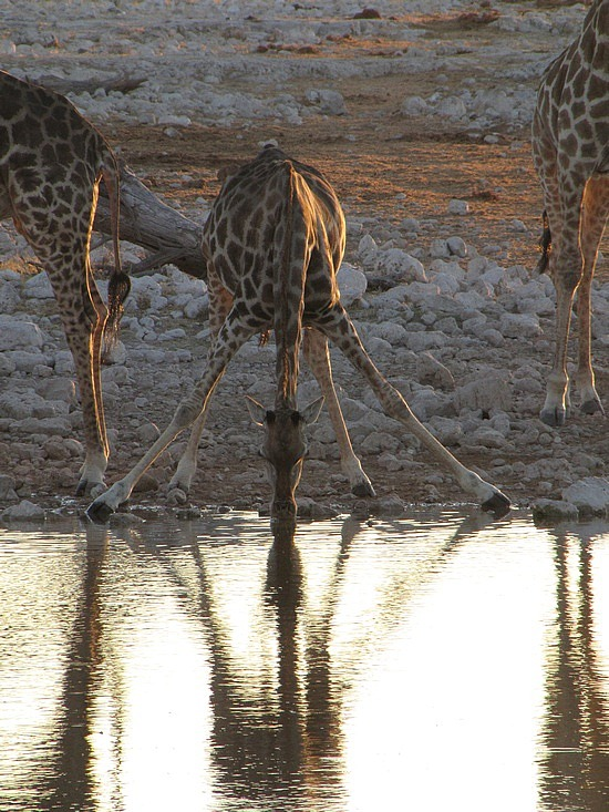 Giraffe Estoha National Park, Namibia.