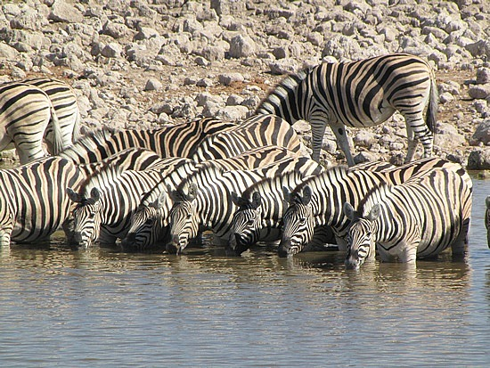Zebras Etosha National Park water hole, Namibia.