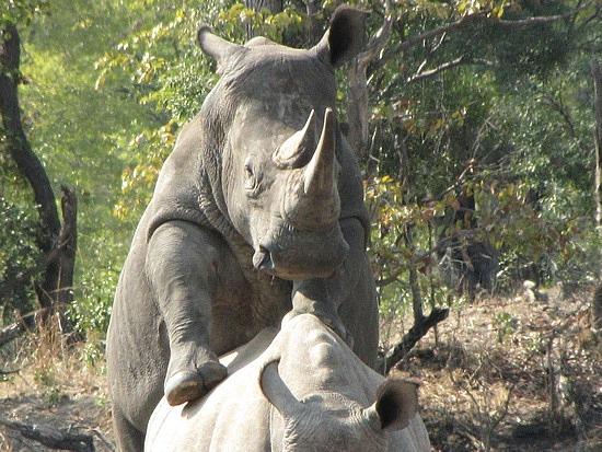 Rhino, Zambia.