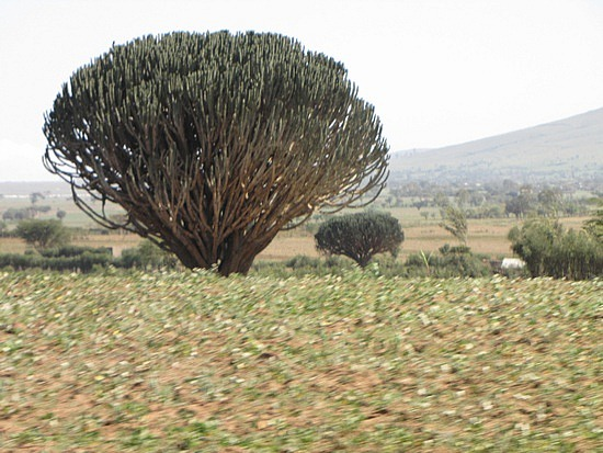 Euphobia Tree (catus tree)