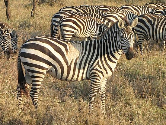 Hundreds of zebras
