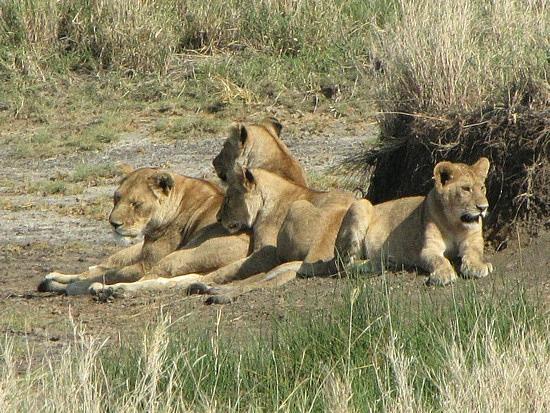 Mum, dad and cubs