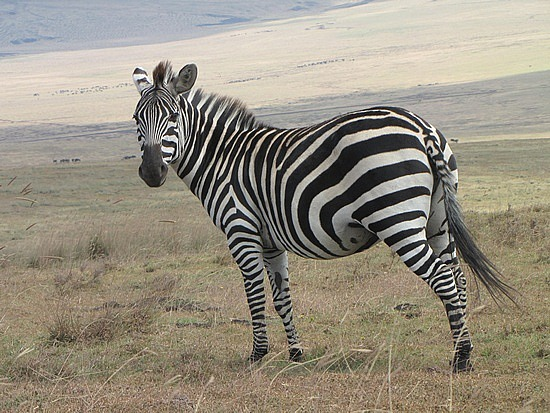 No two zebras patterns are alike