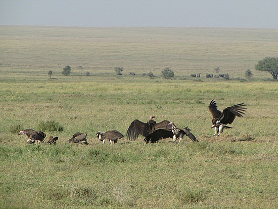 Scores of vultures clean up after cheetah leaves