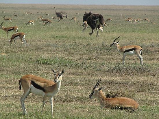 Thompson gazelles - black stripe