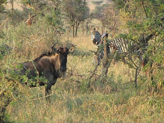 Wilderbest and zebras often travel together