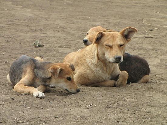 Local village dogs