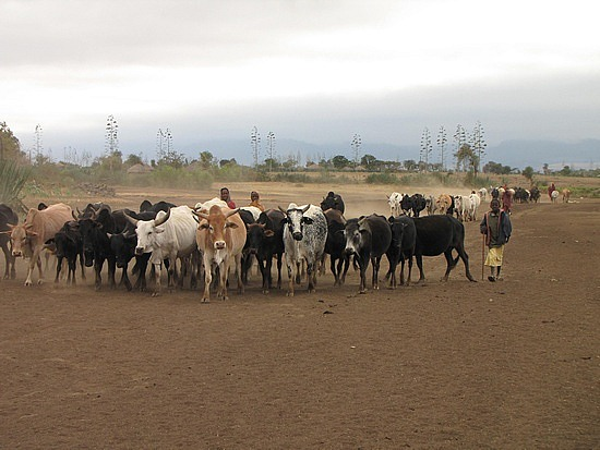 Villagers cattle