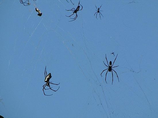 Huge spiders