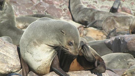 Cape Cross fur seals