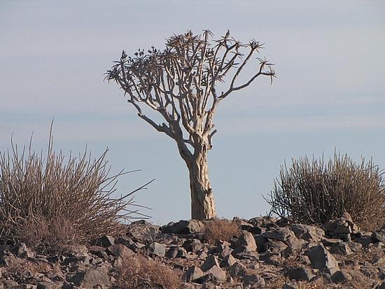 Quiver tree - walk to Fish Canyon