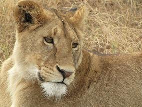 Big pussy cat, Serengeti, Kenya.