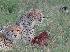 Evening kill, Masai Mara, Kenya.