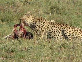 Cheetah and its kill