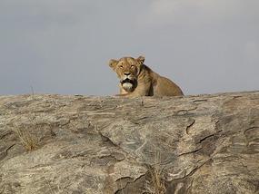 First lion