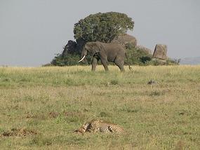 Lonely elephant wanders along while cheetah eats