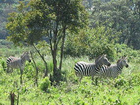 Zebras in our lunch site