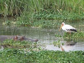 Watch out bird - Hippo lurks under