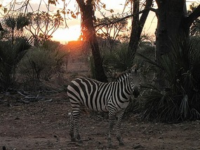 A Zebra in our campsite as the sun sets