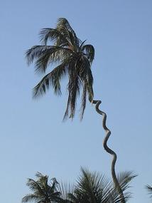 Cork screw coconut tree