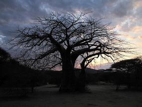 sun about to set through baobab trees