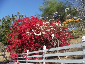 Bequia flowers
