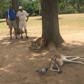 Four Kangaroos