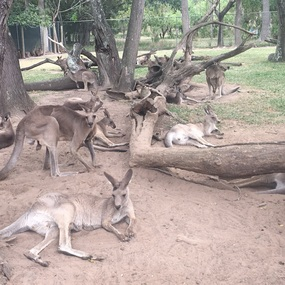 Lots of Roos