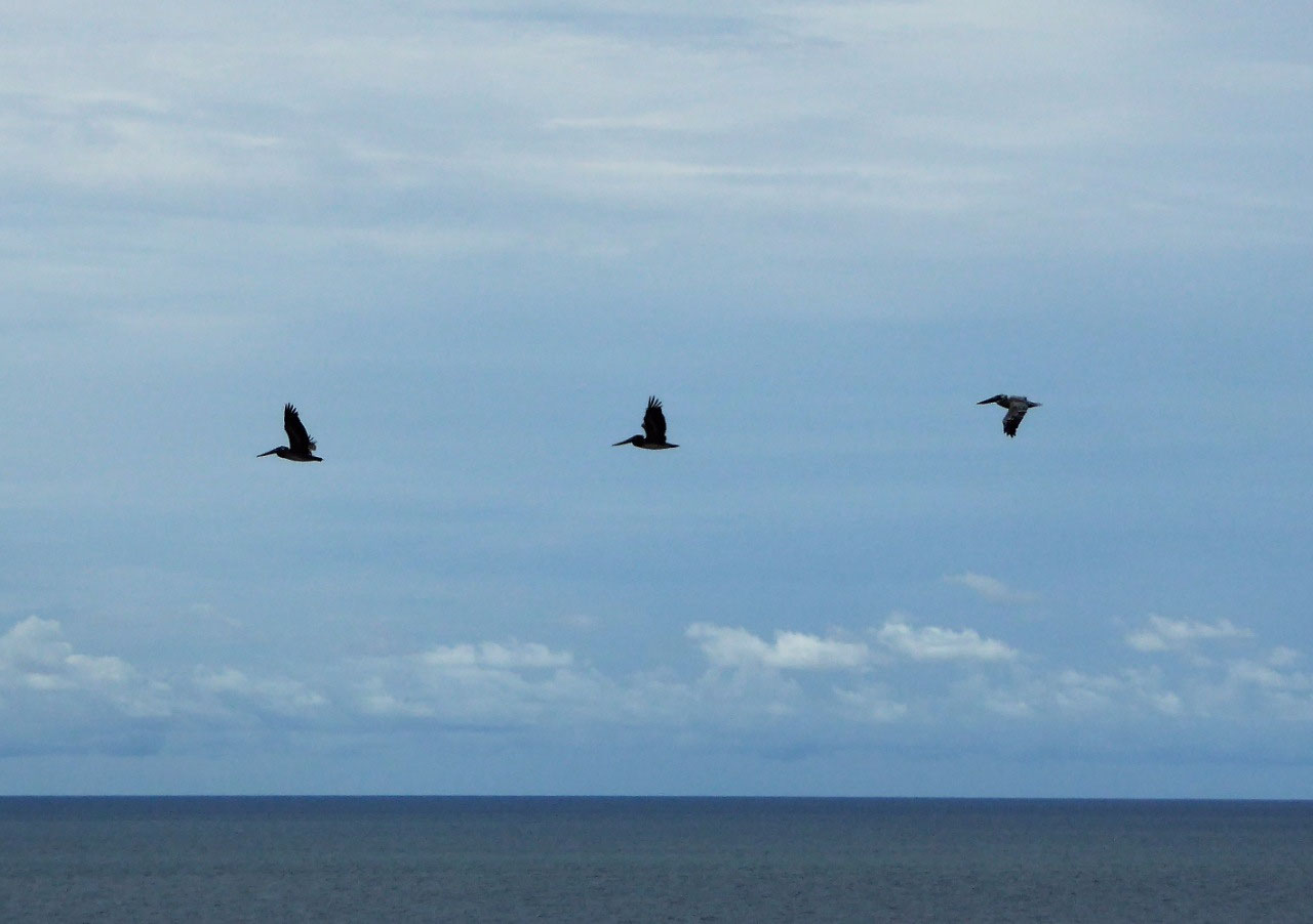 Three flying pelicans
