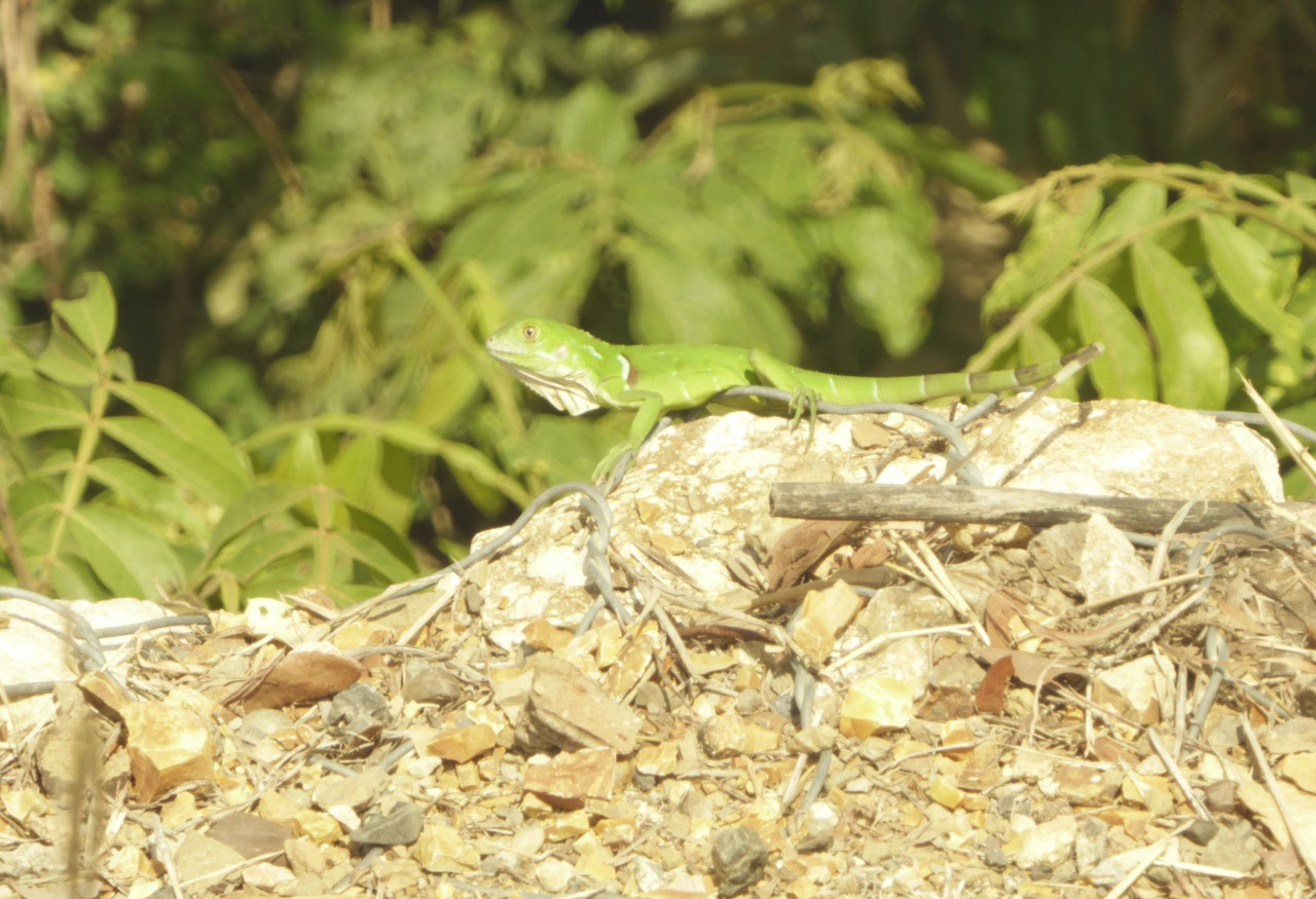 A Bright Green Lizard