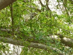 Iguanas in the trees