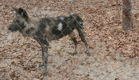 One of the painted dogs