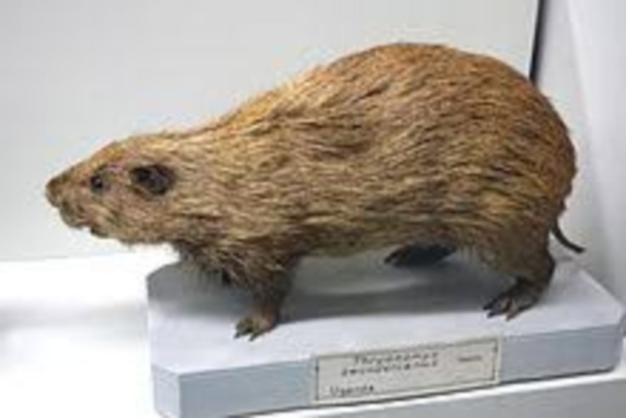 Greater Cane Rat on the hoof