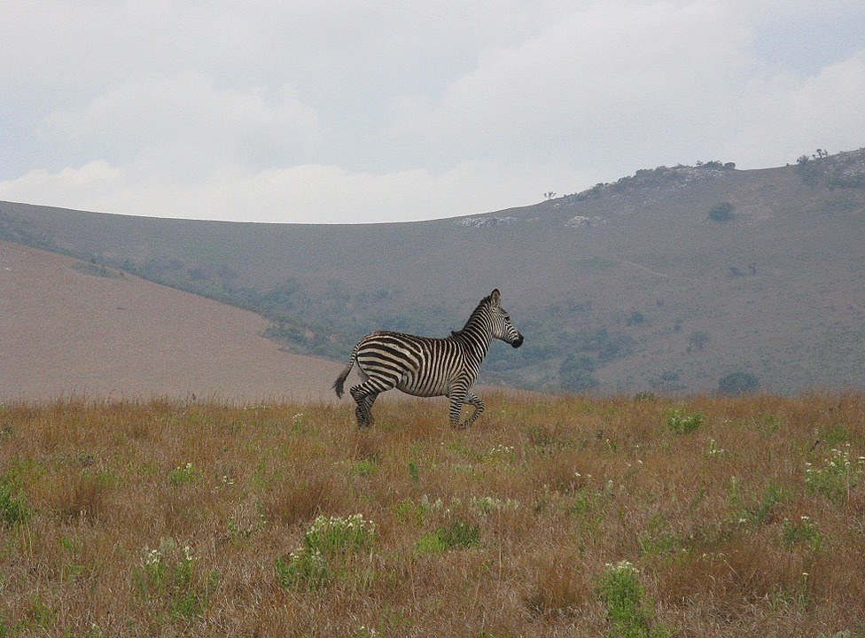 Zebra in the North Yorkshire Moors