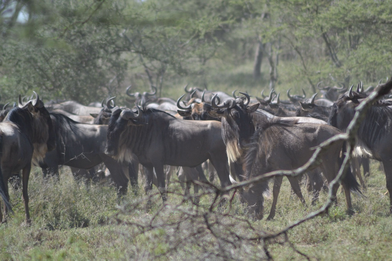 A few hundred wildebeest planning their next charg