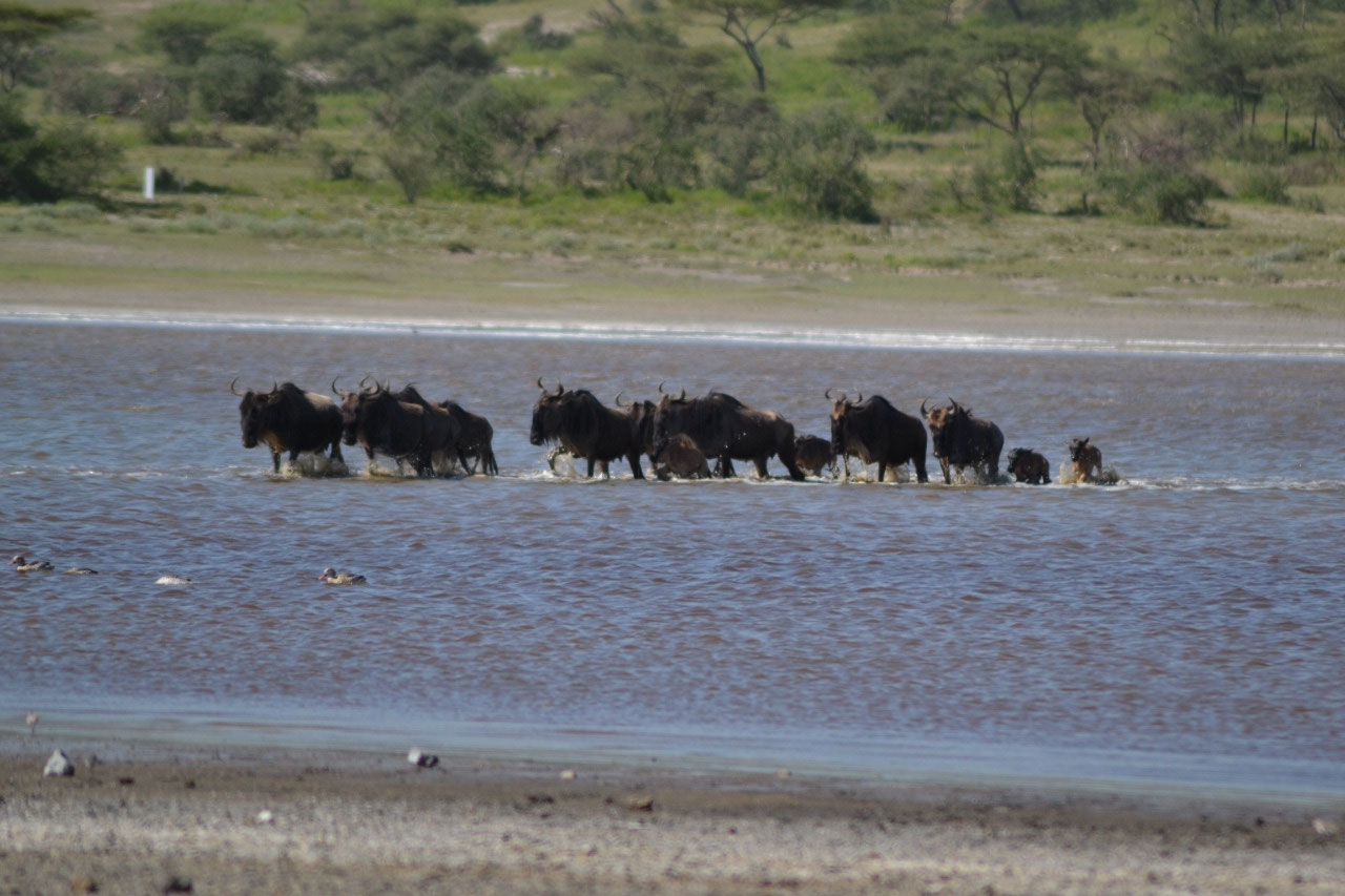 Wildebeest on a mission