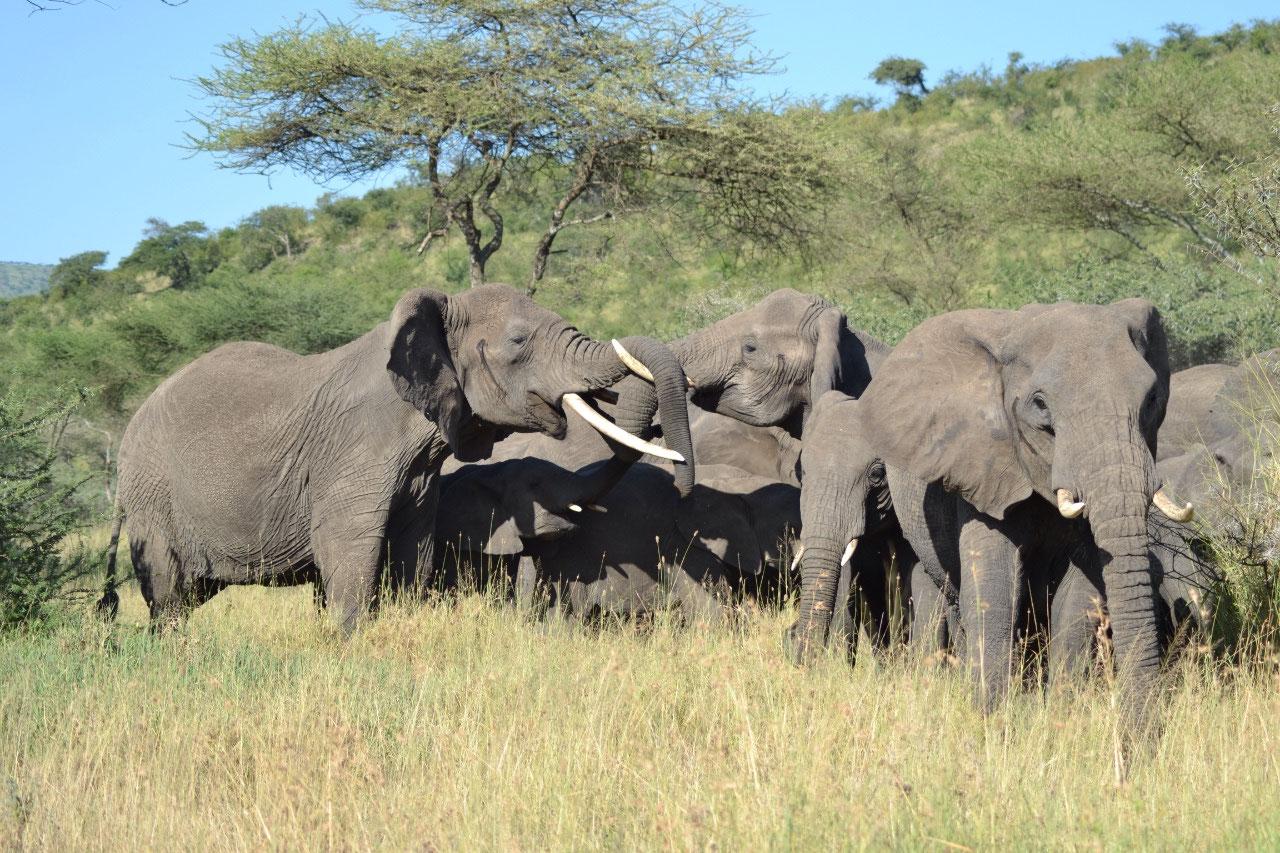 Elephant reunion