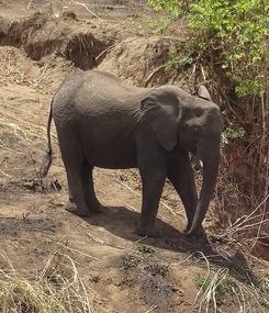 Elephants at Last