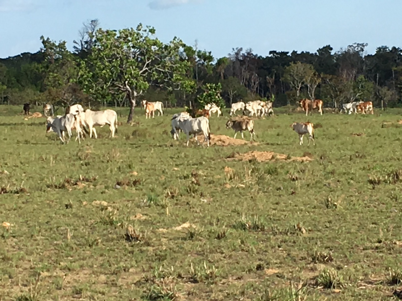The cattle is doing well - 31 heads now