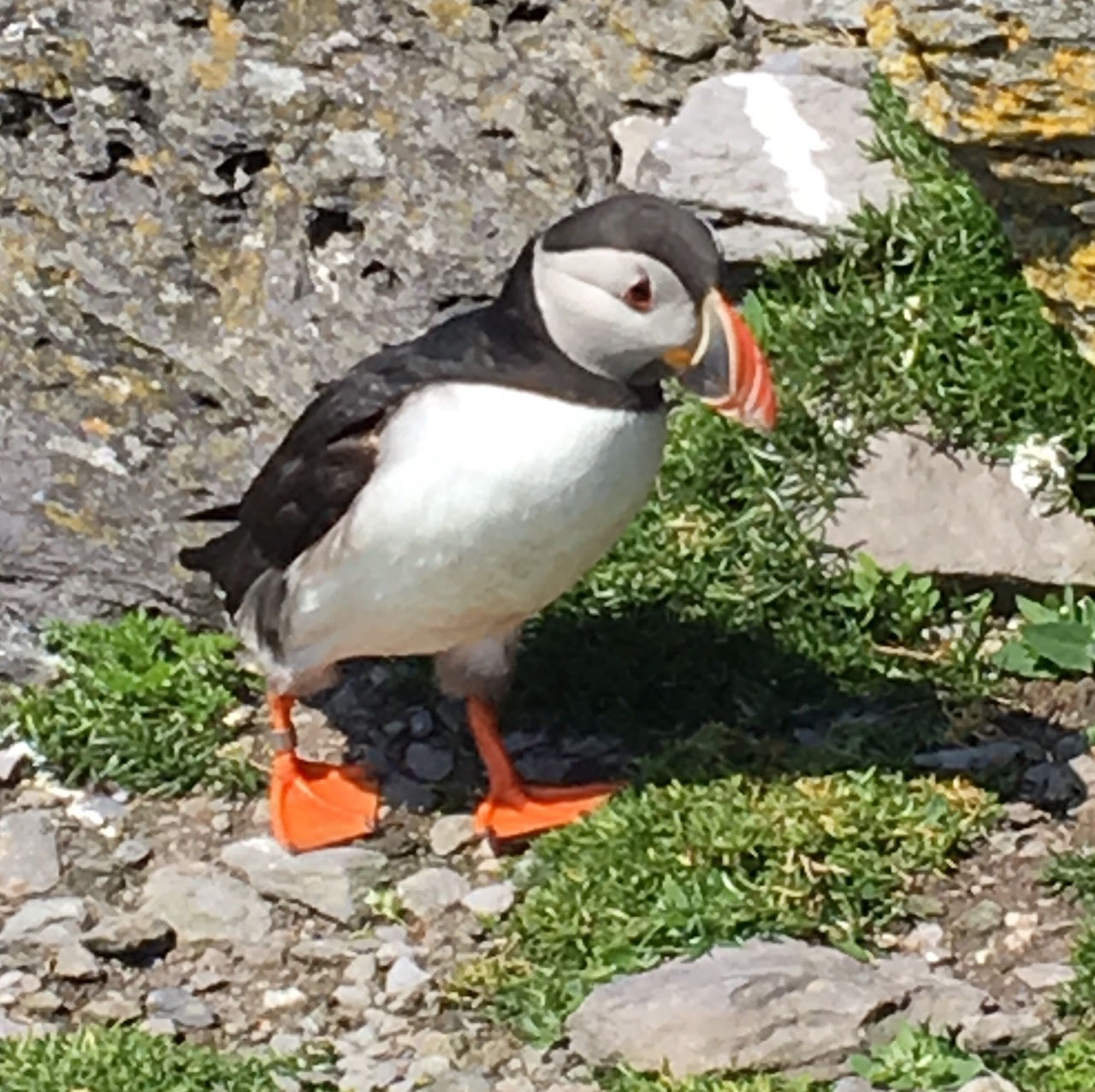 Puffin at Skellig Michael