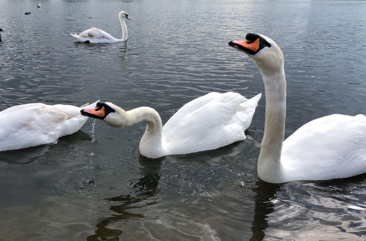 The swans in Round Pond