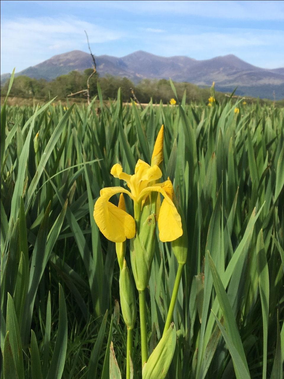 Wild Iris in the park