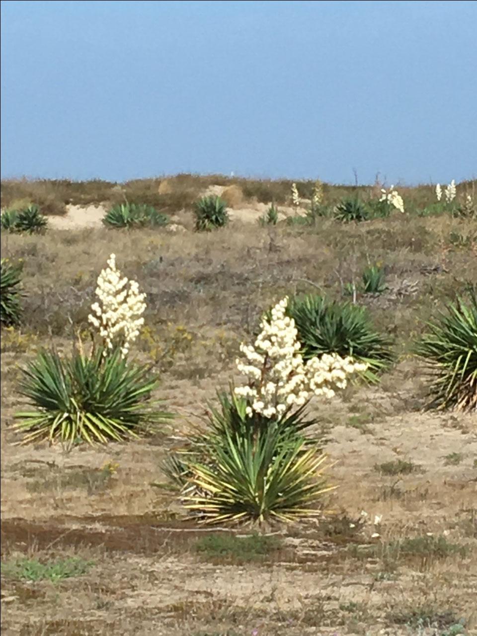 Interesting plants in the dunes